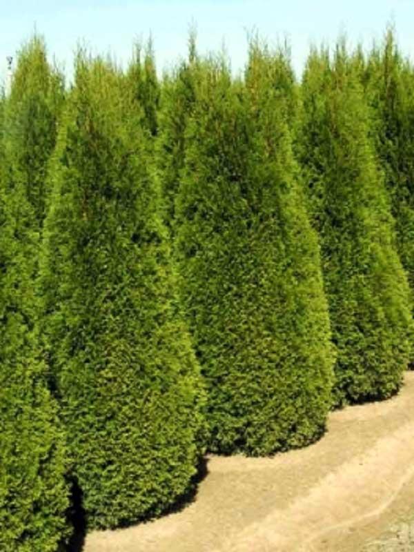 Деревья и кустарники туя западная smaragd