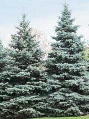 Хвойные деревья и кустарники ель