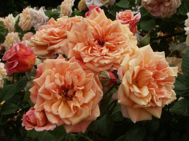 большой ошибкой плетистая роза алоха фото одно самых