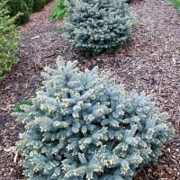 Ель Барри 60-70 Picea abies Barry