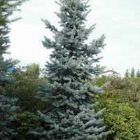 Ель колючая Олденбург 60-80 С10 Picea pungens Oldenburg