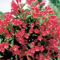 Вейгела Ред принц C5 50-60 Weigela Red Prince