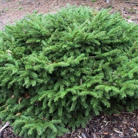 Ель Репенс 40-50 Picea abies Repens